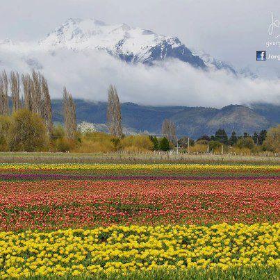 Época de tulipanes en Trevelin Chubut