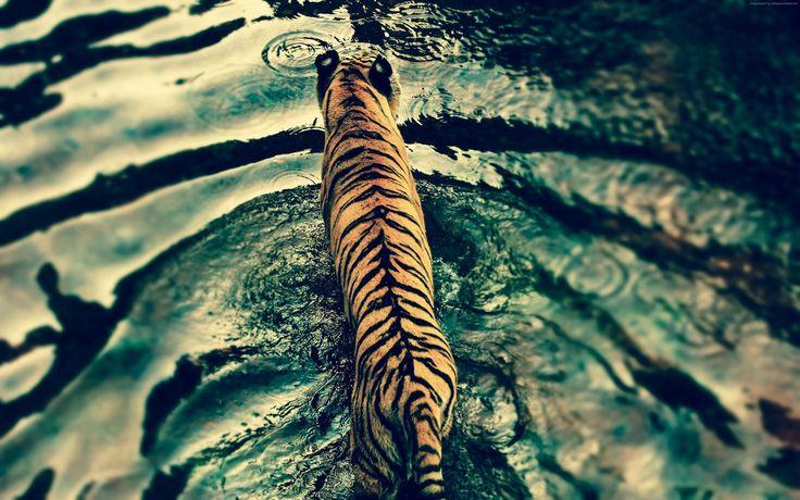 Tiger's walk