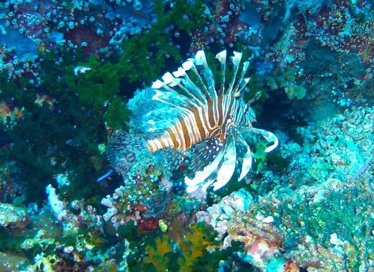 Stay away from the lion fish  Read more: http://www.traveltherenext.com/adventure/item/486-diving-komodo-national-park  #visitindonesia #komodo #nationalpark #diving #turtles #morays #sharks #experience #adventure #travel #traveltherenext