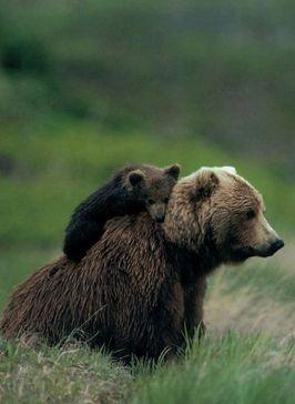 Baby bear stickin' to his mama