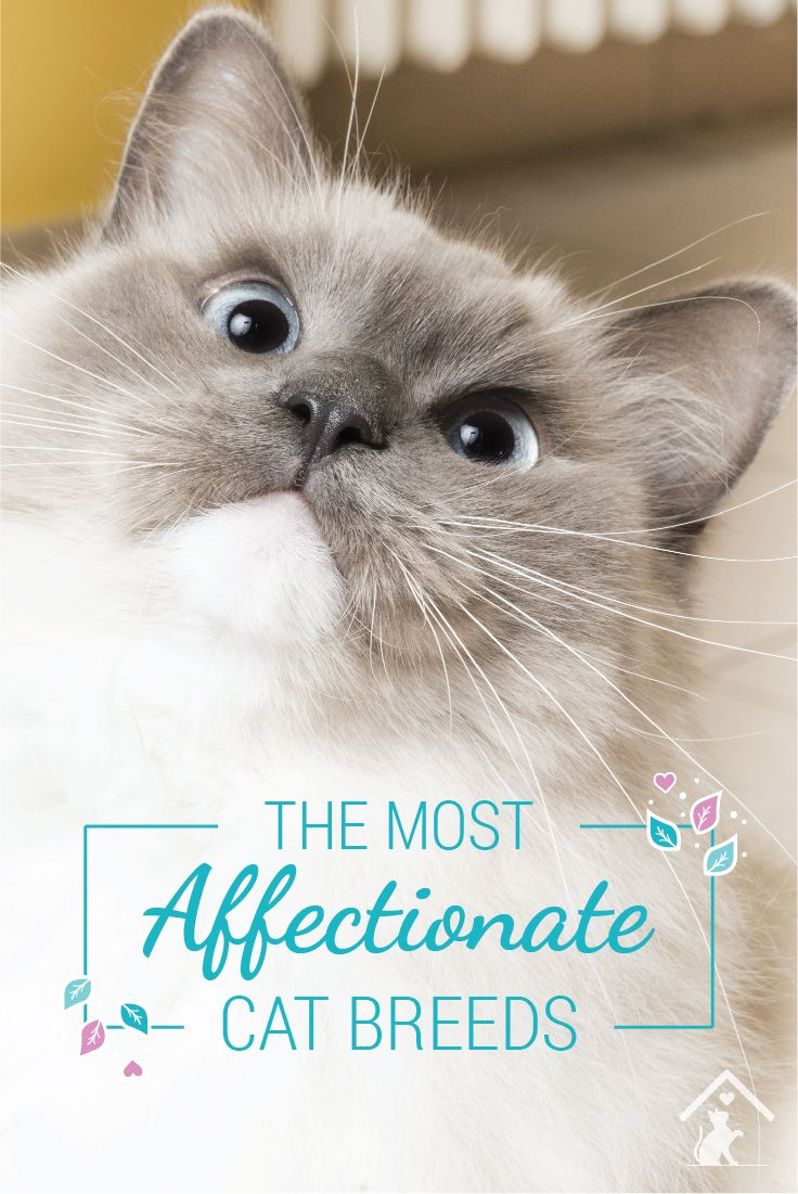 Ragdoll cats are just one of the most affectionate cat breeds! Click the pin to see if your cat is a smooch monster. #petcat #cutecat