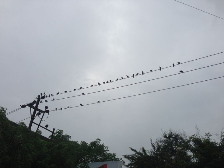 crows on wire on monsoon day