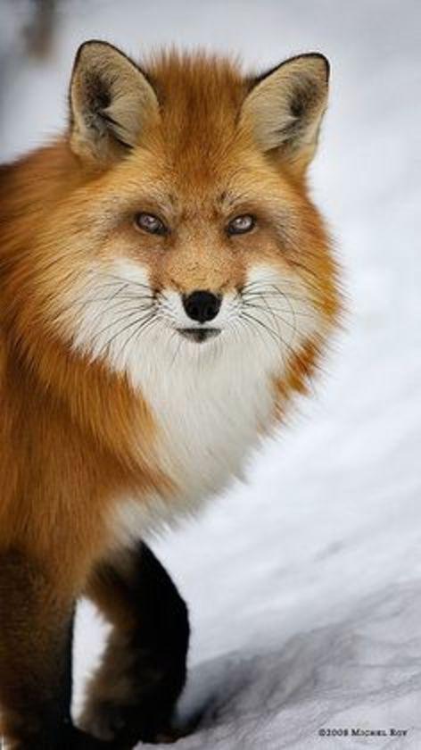 animals, fox in winter