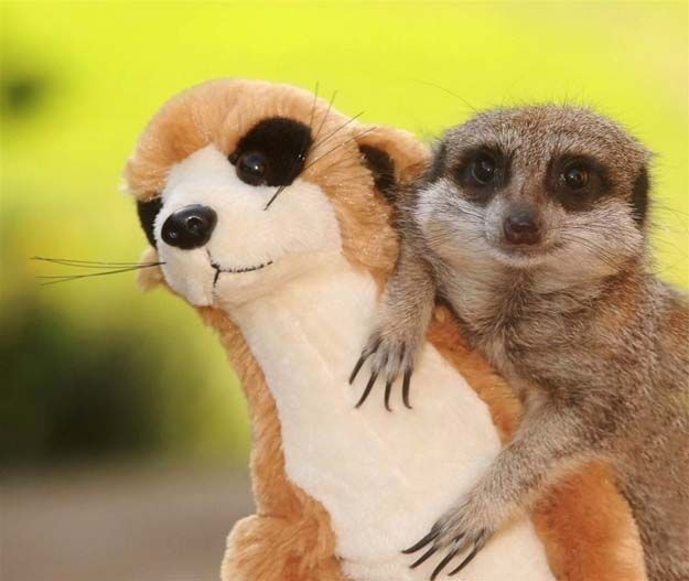 And the meerkat who fell in love with a stuffed meerkat of himself.