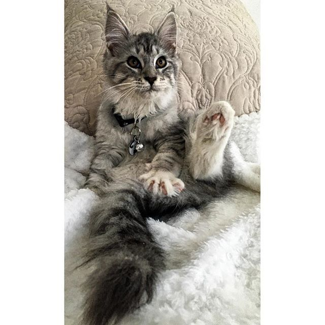 I am SMITTEN :) My little LION, King Balthazar, a NOT-SO-LITTLE #PEDIGREE #MAINECOON! @balthazarthemainecoon  #MaineCoon #MaineCoonKitten #MyBaby #MyLittleLion #MaineCoonLover #MaineCoonLovers #Pedigree #PedigreeCat #Cat #CatLife #BigCat #BigCats #MyLION #MyLIONCub #InstaCat #CatLover #CatWorld #MaineCoonLife #FurBaby #CatsOfInstagram