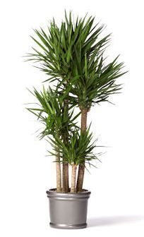 17 best images about indoor plants on pinterest office for Plante yucca