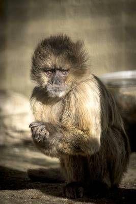 Zoobotanico Jerez :: MACACO DE GIBRALTAR