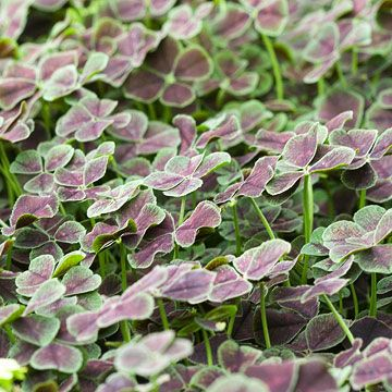Even if white clover is a major pest in your lawn, you might consider its cousin, purple four-leaf clover. This quick-growing groundcover bears rich chocolate-purple foliage edged in green. Curiously, most of the leaves have four leaflets instead of the traditional three, so you can always feel lucky! Name: Trifolium repens 'Atropurpureum' Growing Conditions: Sun or part shade and moist, well-drained soil Size: To 8 inches tall and 18 inches wide Zones: 4-9