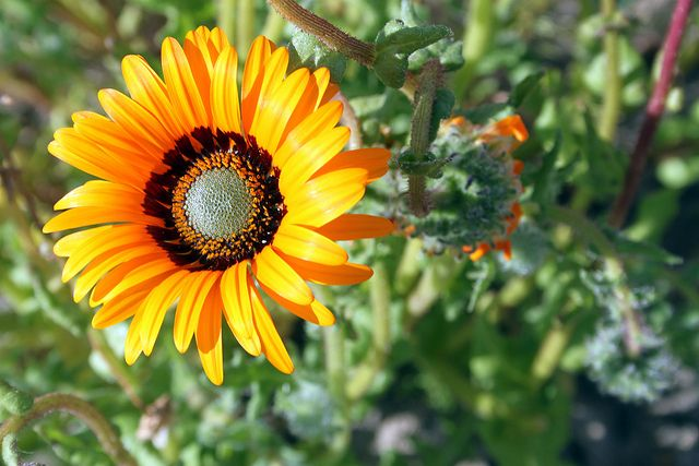 Orange daisy, Namaqualand - South Africa.