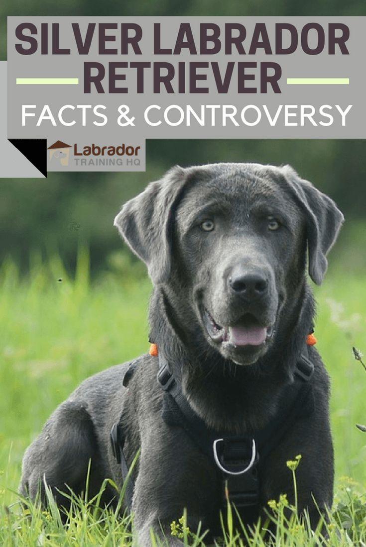 Silver Labrador Retriever Facts And Controversy Silver Labrador Retriever Labrador Retriever Facts Labrador Retriever Funny