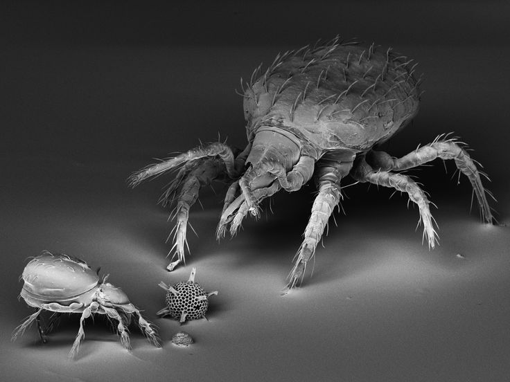 Two mites imaged with a scanning electron microscope