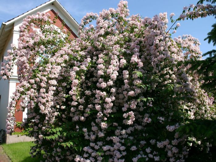 Inspirational  von Mai bis Juni bl ht dieser Strauch rosa in Doldentrauben bl ht auch im lichten Schatten ein beliebtes Geh lz f r den Garten enorme Bl tenf lle