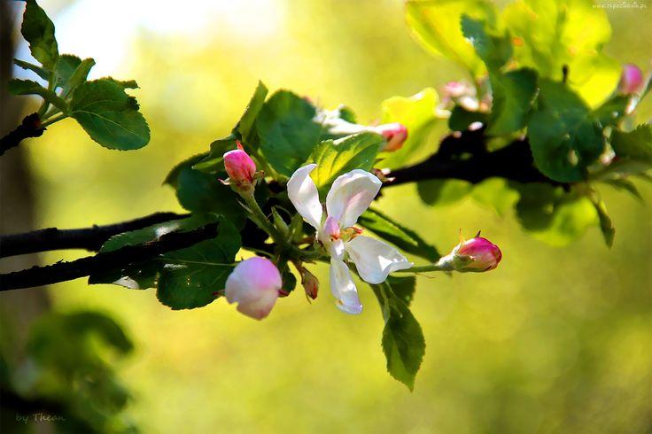 Edycja Tapety: Kwitnące, Drzewo, Owocowe, Jabłoń