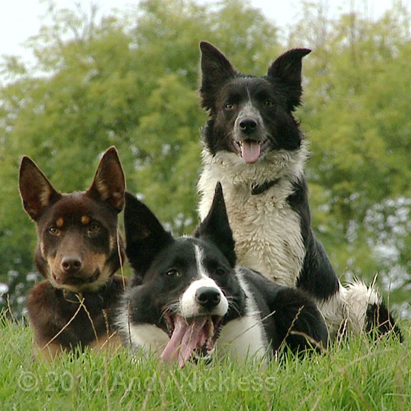 Need farm dogs to herd the cows!!