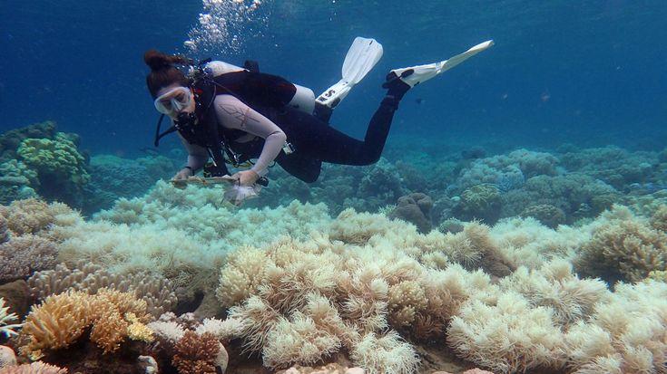 Le blanchissement des coraux est un phénomène de dépérissement provoqué par la hausse de la température de l'eau.