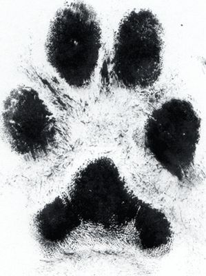 tattoo of actual paw print. I want this for my two dogs. On my heart, like they stepped on my heart and left a impact on it.