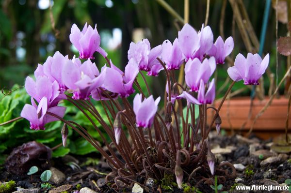 Herbst #Alpenveilchen #Cyclamen hederifolium http://www.florilegium.de/blog/pflanzen/blumen-im-garten/herbst-alpenveilchen-cyclamen-hederifolium.html