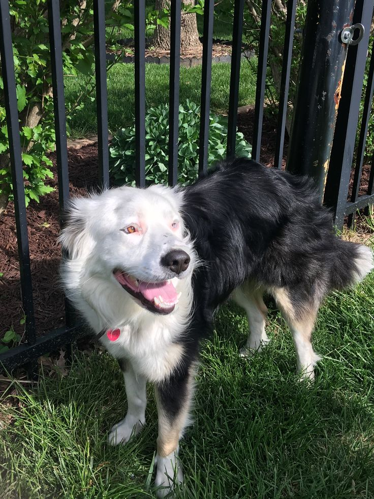 BorderAussie dog for Adoption in St.Louis, MO. ADN538458