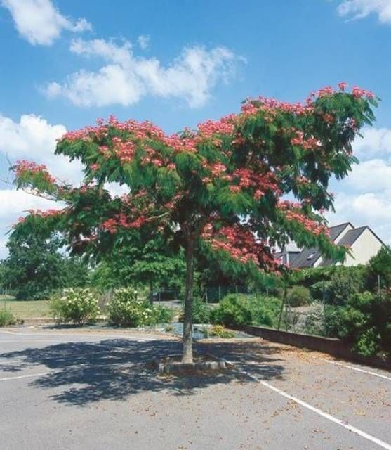 best 25 albizia julibrissin ideas on pinterest albizia tree what 39 s in a mimosa and silk tree. Black Bedroom Furniture Sets. Home Design Ideas