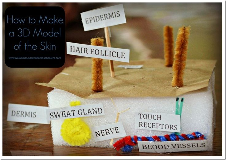 Students of all ages can gain a better understanding of the skin's layers with a model. This simple tutorial shows how to make a 3D model of the skin.