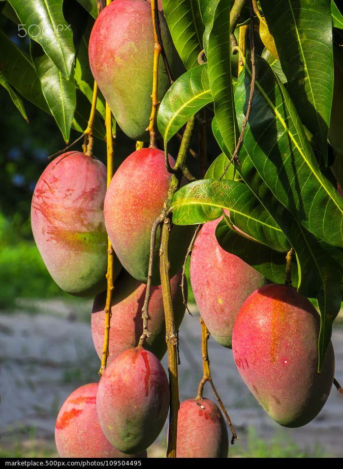 """Mango. """"En mi tierra los mangos son tan fértiles q se te sube la presión de lo dulce q están"""" -Alex-"""