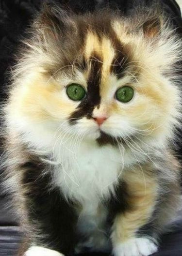Super fluffy calico kitten is sooooo cute!!