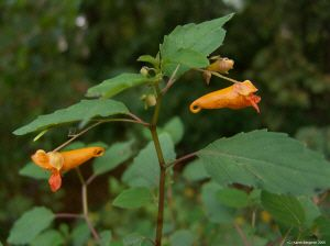 Jewelweed  use leaves and juice from the stem used as a treatment for poison ivy, oak and other plant induced rashes.  Folk remedy for bruises, burns, cuts, eczema, insect bites, sores, sprains, warts, and ringworm..