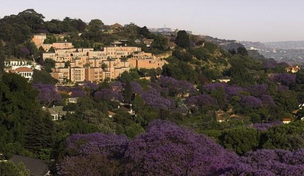 Jacaranda trees in bloom. Johannesburg, South Africa