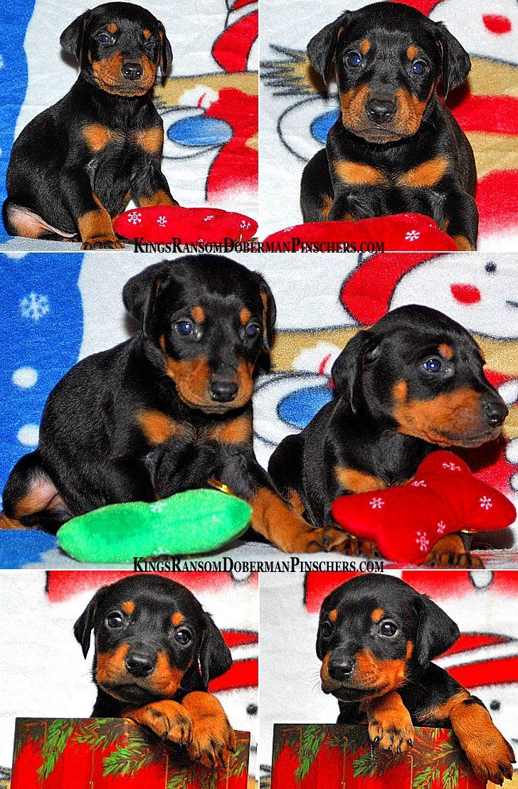 Christmas puppies for sale, dobermans, 2009.