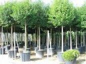 http://campbellplants.ie/shrubs/p14 privet,  ligustrum standard