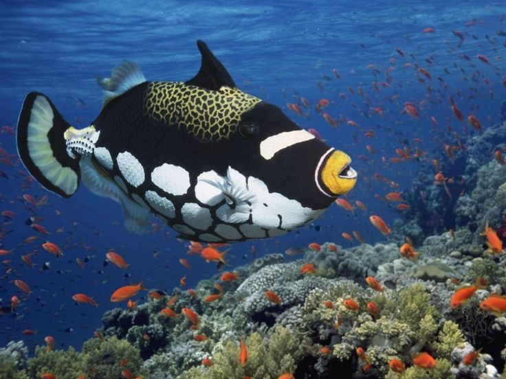 Clown Trigger Fish... Look how awesome everything about this fish is!