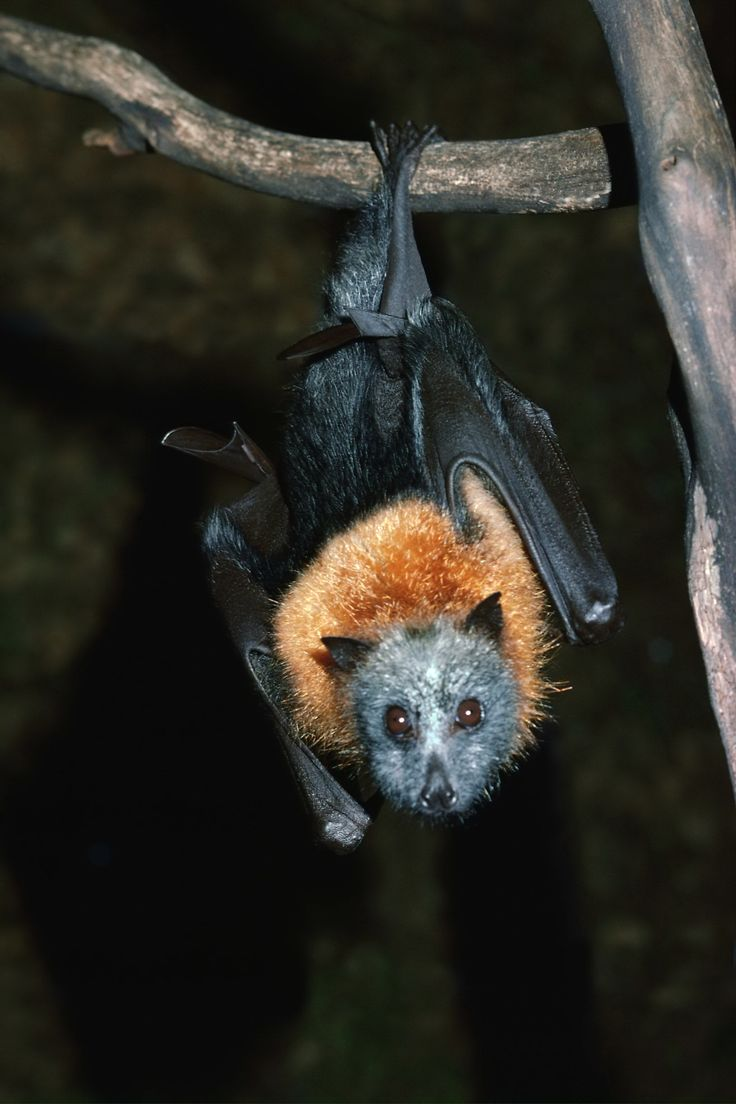 228 best bats for kaiti images on pinterest animals bats and