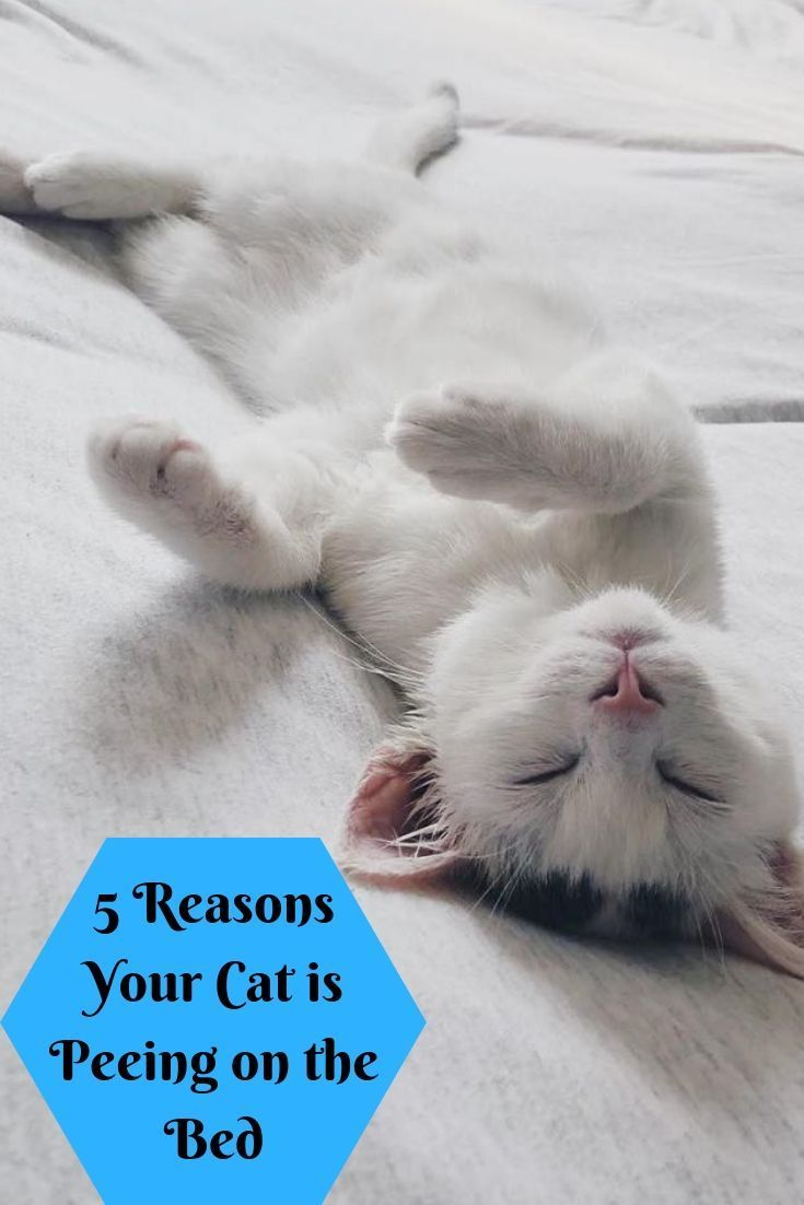 5 Reasons Your Cat Is Peeing On The Bed Sick Cat Sick Cat Symptoms Kitten Health