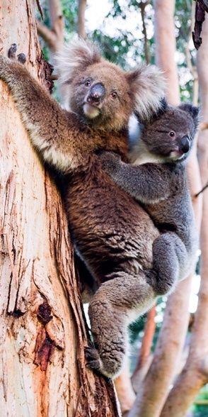 Mother and babe koalas, Australia.