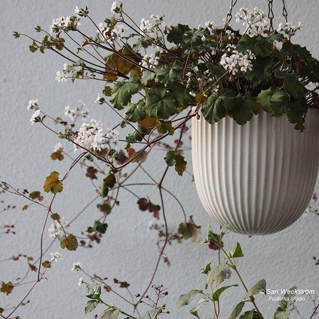 Kaunis australianvillipelargoni (Pelargonium australe) viime kesän iltavalossa. Lisää blogissa.  #newblogpost #sarinpuutarhat #pelargoni #pelargon #pelargonium #kesäkukat