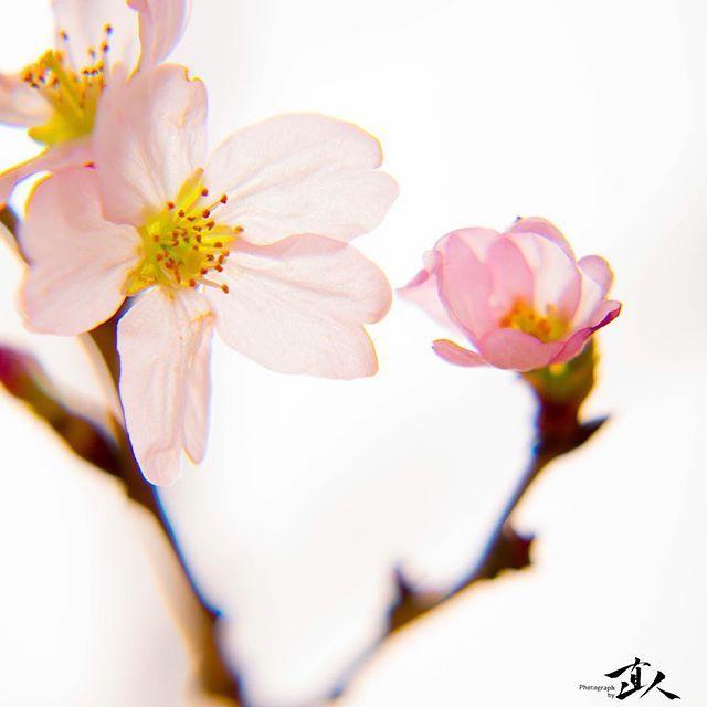【yuzuki_chef_naoto】さんのInstagramをピンしています。 《お花見といえば・・・日本の春は桜。 ✨ 京都で桜といえば数多くの名所を挙げることができます。 京都御苑や下鴨神社、世界遺産ですね! 他にも祇園周辺や東寺、嵐山や伏見など、 本当に絵になる名所がたくさん。 ✨ 寺社仏閣と桜の組み合わせが趣を出す京都市内から北へ進むと、 亀岡の保津峡のトロッコとの桜、 亀岡城址、 美山の大野ダムの桜、 和知のわち山野草の森、 など、自然の中にある桜の名所が多く見られます。 よく晴れた日には、青い空に緑の山地、そして淡い色をまとった桜が自然の美しさを演出しています。 ✨ さらに進んで、福知山、綾部へと来ると、 福知山城や長安寺の桜、 綾部の山家城址公園の桜、 またまた、歴史的な建造物との桜が名所として存在し時の流れを感じさせてくれます。 ✨ さらにさらに、進むと舞鶴や宮津へとたどり着きます。 ここまで来ると今までに見ることのできなかった桜の景色を見ることができます。 海と桜の競演です。 ✨ 舞鶴市街地そばの与保呂川沿いの桜は圧巻ですし、…