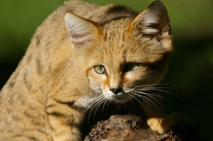 https://flic.kr/p/8wSVM2 | Dramatic Sand cat | (Felis margarita) Photo taken at Parken zoo Eskilstuna, Sweden