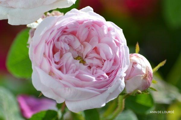 Rosa Maidens Blush, Summer 2017, in the Garden.