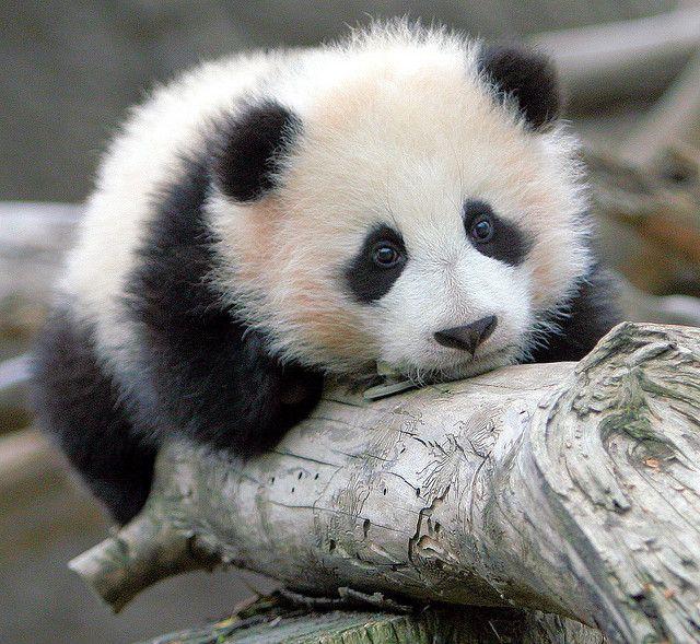 So cute!!  Just look at that face :) [Zhen Zhen - baby girl panda born at the San Diego Zoo]