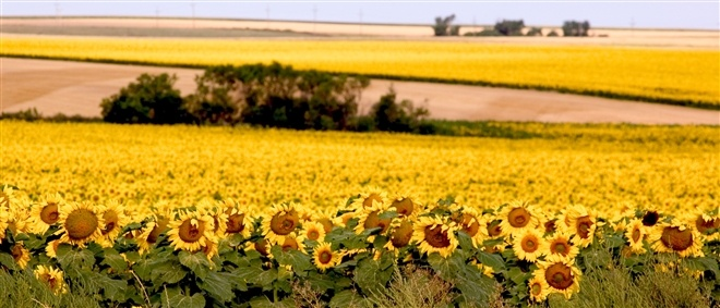 If you're traveling in the month of August, you may see a beautiful sea of gold. Sunflowers are a crop in South Dakota.