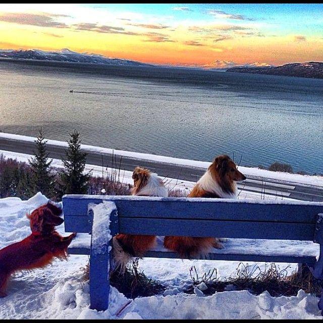 """#sheltie #norway  #sheltieowners #shetlandsheepdog  Ut på #tur #doglover #moument #skyporn #vinter #snow  #natur #narvik  #norge❤️#lebanese_nature…"""