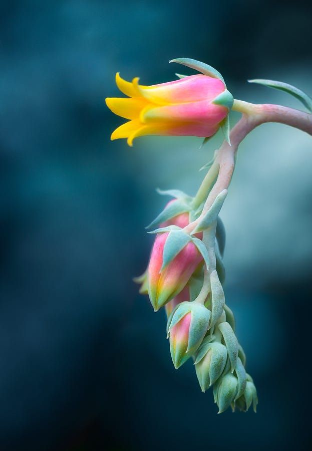 Echeveria Flower by Gabriel Tompkins on 500px
