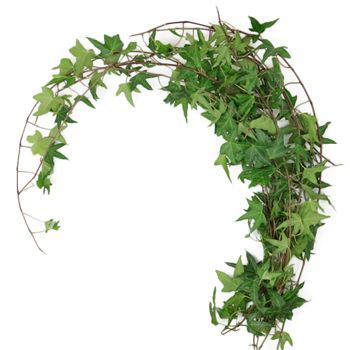 Green Ivy has leaves that are a glossy green and are somewhat cup-shaped. Its thin, branching woody stems average 18-24 inches in length and is known for its award-winning quality. Green Ivy is perfect for adding a carefree, cascading shape to any bouquet, centerpiece, or floral crown.