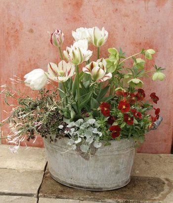 チューリップ、ビオラ、クリスマスローズなどの寄せ植え。それぞれの背丈を考えながら違う植物と寄せ植えするのも楽しいですね。