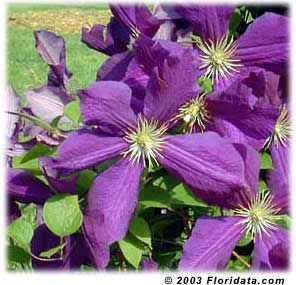 17 best images about garden flowers clematis on. Black Bedroom Furniture Sets. Home Design Ideas