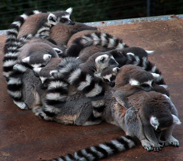 A family of lemurs huddle together to keep warm in the cold weather. // VLADIMIR POPOV
