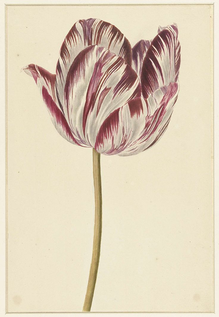 Rood-witte tulp, anoniem, 1700 - 1800