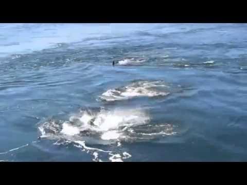 ▶ Katil Balina Sürüsü Görüntüleri - Herd Killer Whale Images - YouTube