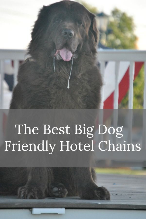 The 5 Best Big Dog Friendly Hotel Chains Best Big Dogs Dog Friendly Hotels Big Dogs