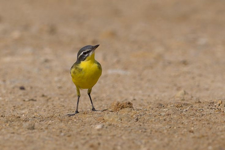 Beema Yellow Wagtail - Jubail by Jem Babbington http://focusingonwildlife.com/news/beema-yellow-wagtail-jubail/